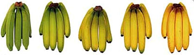 Different ripeness levels of bananas side by side