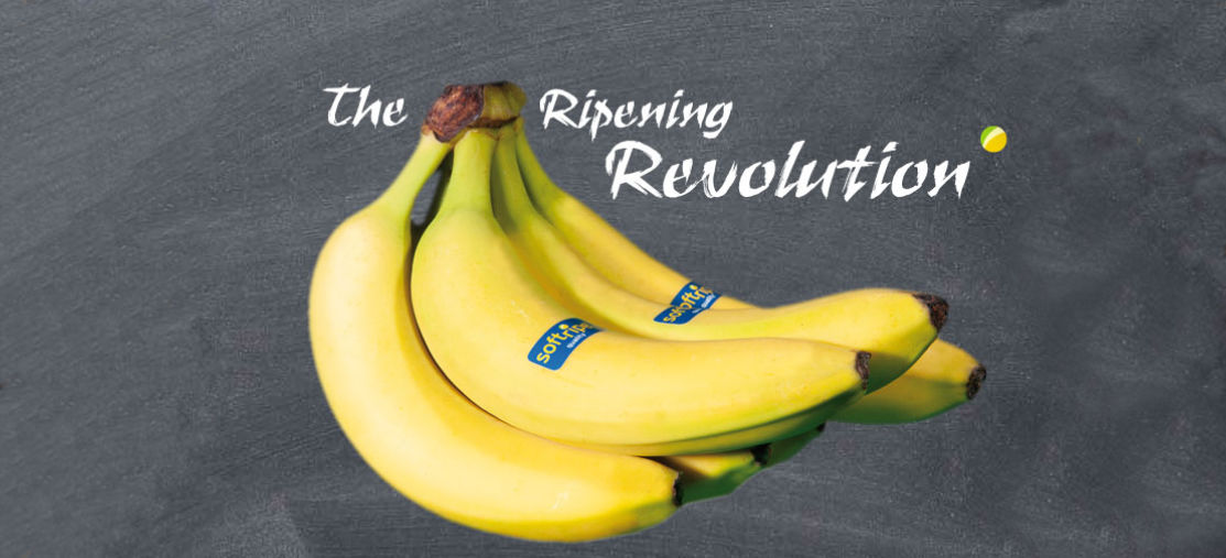Bananas ripened with Softripe on a slate and over it the lettering The ripening Revolution
